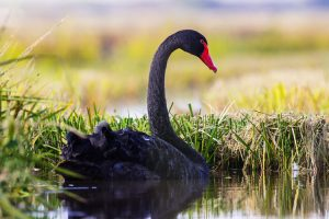 Cisne negro